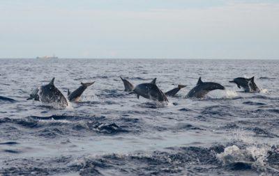 Dolphins-in-Lovina19206